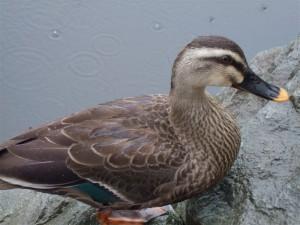 いもり池の鴨